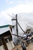 Профиль белой лошади Стоковые Изображения RF