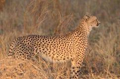 Профиль гепарда на заходе солнца Томе Wurl Стоковые Изображения RF