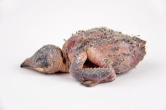 Профиль голубя цыпленока Стоковая Фотография RF