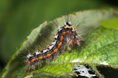 профиль гусеницы сумеречницы Желт-кабеля (similis Euproctis) Стоковые Фото