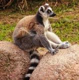 Профиль лемура Мадагаскара Стоковые Фотографии RF