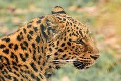 Профиль леопарда стоковое изображение rf