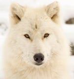 Профиль ледовитого волка Стоковые Изображения RF