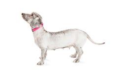 Профиль женской малой собаки породы стоящий Стоковые Изображения