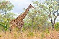 Профиль жирафа в кусте, конце поднимающем вверх и портрете Сафари живой природы в национальном парке Kruger, главном назначении п Стоковые Фотографии RF