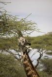 Профиль жирафа подавая в Serengeti, Танзании Стоковая Фотография