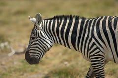 Профиль зебры Стоковое Фото