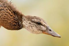 Профиль дикой утки Стоковое Изображение