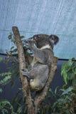 Профиль коалы есть листья под крышей в Австралии Стоковое фото RF