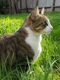 Профиль кота Tabby Стоковые Изображения RF