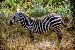 Профиль красивой зебры Grevy в Кении, Африке Стоковые Фотографии RF