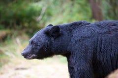 профиль медведя черный Стоковое Изображение RF