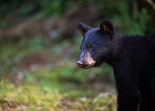 Профиль молодого черного медведя Стоковое Фото