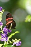 Профиль общей бабочки почтальона на фиолетовых цветках Стоковые Изображения RF
