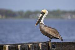 Профиль пеликана Брайна Стоковая Фотография