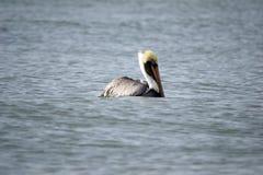 Профиль пеликана плавая в океан Стоковое Фото