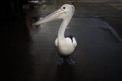 Профиль пеликана Стоковая Фотография RF