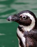 Профиль пингвина бортовой Стоковые Фото