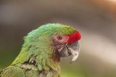 Профиль попугая ары Стоковое Изображение