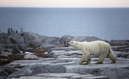 Профиль полярного медведя Стоковое фото RF