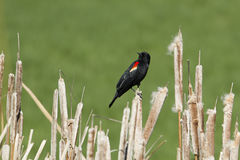 Профиль птицы подогнали красным цветом, который черной Стоковые Изображения