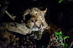 Профиль дремая леопарда на ноче Стоковая Фотография