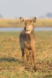 Профиль самца оленя воды пыжика Стоковое Изображение RF