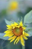 Профиль солнцецвета Стоковое фото RF