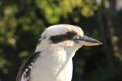 Профиль стороны птицы Kookaburra австралийца Стоковое Изображение RF
