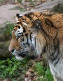 Профиль тигра от левой стороны Стоковая Фотография RF