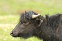 Профиль ювенильного индийского буйвола Стоковое Фото