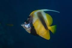 Профиль bannerfish Красного Моря Стоковое Изображение