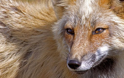 Профиль Fox Стоковое фото RF