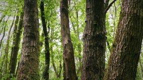 Проходить группу в составе деревья в лесе видеоматериал