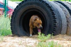 Проход собаки тоннеля во время тренировки Тренируя платформа стоковое изображение rf