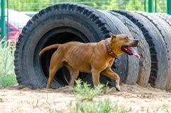Проход собаки тоннеля во время тренировки Тренируя платформа стоковые изображения rf