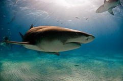 проходить акулу Стоковое Изображение