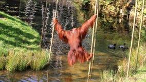 Проходить мощного орангутана Bornean акции видеоматериалы