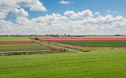 100 процентов голландский, пасущ коров около зацветая tuli Стоковая Фотография