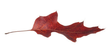 Прочитайте падать лист дуба Стоковые Изображения RF