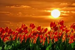 Прочитайте тюльпаны Стоковая Фотография