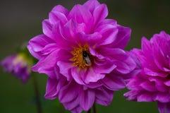 Прочитайте цветок и пчелу стоковое изображение