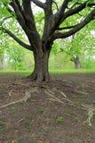 Прочность дерева, с далеко идущими корнями и тяжелыми ветвями Стоковые Фотографии RF
