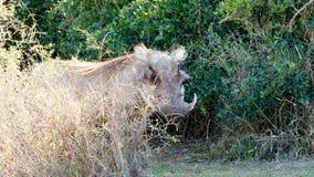 Прочь - africanus Phacochoerus общее warthog Стоковые Изображения RF