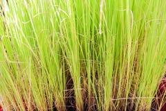 Продемонстрированный молодой росток риса для ребеят школьного возраста Стоковые Изображения RF