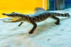 Продукт сделан крокодиловой кожи заполненный крокодил сувенир подарок Стоковое фото RF