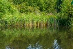 Пруд и тростники стоковая фотография rf