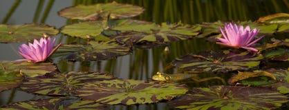 Пруд лилии с лягушками Стоковые Изображения RF