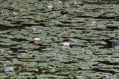 Пруд лилии с розовыми цветениями Стоковая Фотография RF