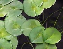 пруд лилии Стоковые Изображения RF